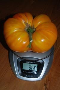 gewichtige tomaat van bijna 1 kg